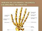 huesos de los dedos falanges falanginas falangetas