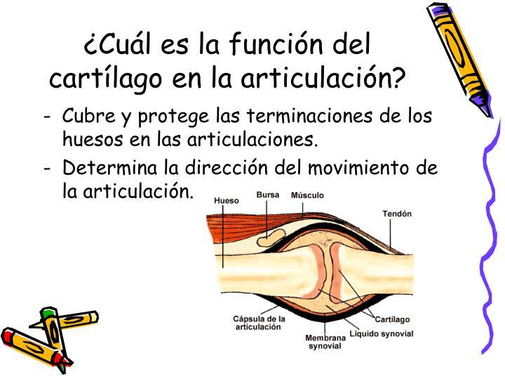 ¿Cuál es la función del cartílago en la articulación?