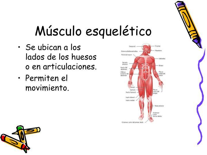 Se ubican a los lados de los huesos o en articulaciones.