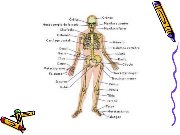 Sistema locomotor sistema seo y sistema muscular