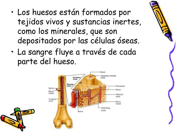 Los huesos están formados por tejidos vivos y sustancias inertes, como los minerales, que son depositados por las células óseas.