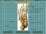tarso metatarso dedos