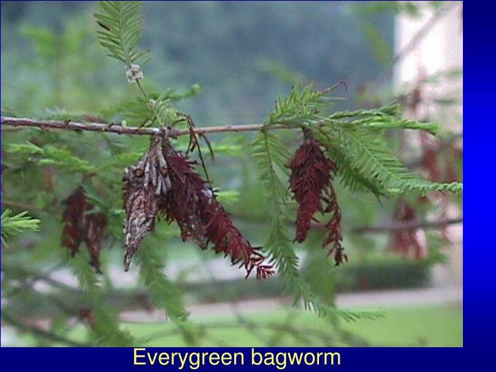 Everygreen bagworm