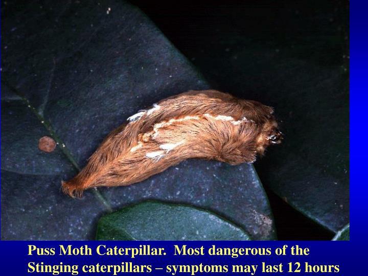 Puss Moth Caterpillar.  Most dangerous of the