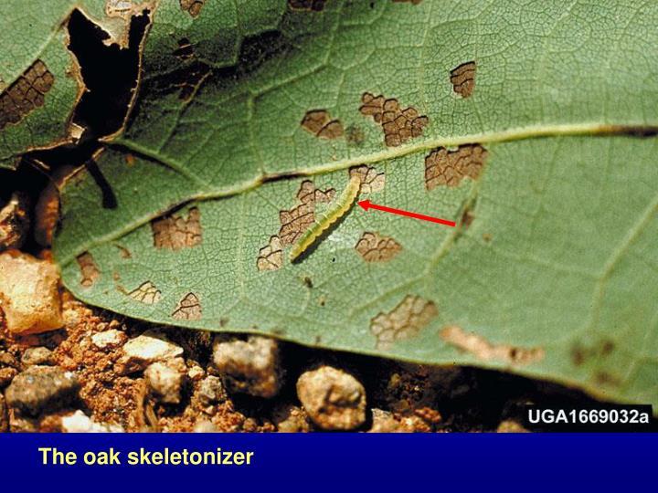 The oak skeletonizer