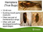 hemiptera true bugs