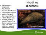 hirudinea leeches