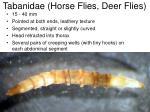 tabanidae horse flies deer flies