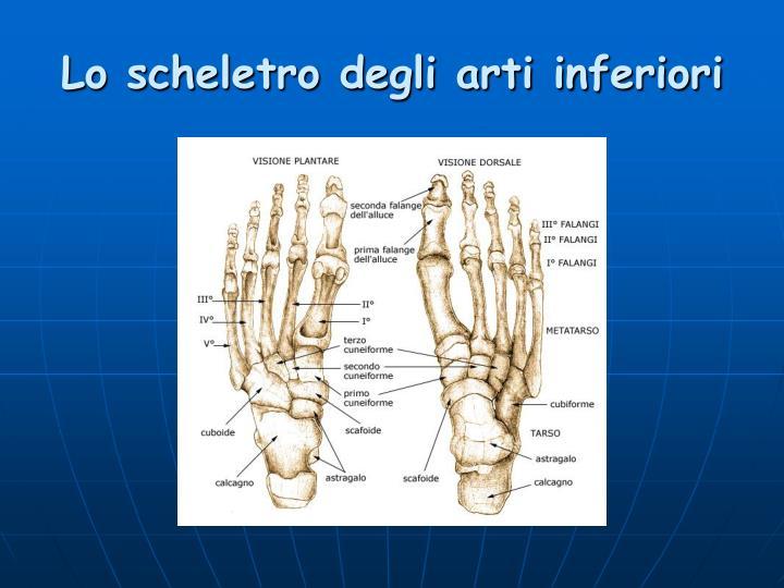 Lo scheletro degli arti inferiori