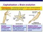cephalization brain evolution