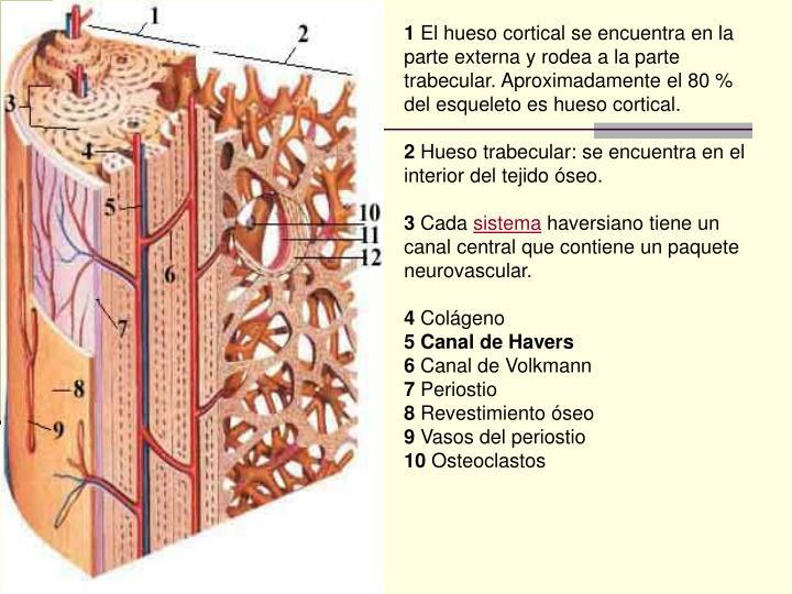 PPT - OSTEOLOGÍA PowerPoint Presentation - ID:4547835