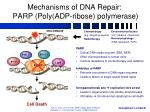 mechanisms of dna repair parp poly adp ribose polymerase