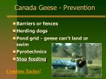 canada geese prevention