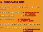 m subscapularis