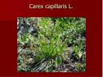 carex capillaris l