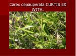 carex depauperata curtis ex with