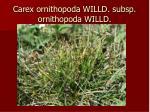 carex ornithopoda willd subsp ornithopoda willd