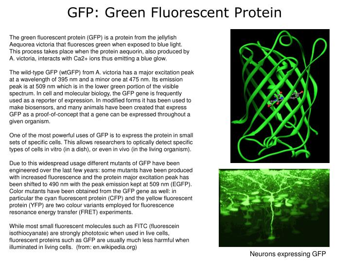 the purification of recombinant green fluorescent protein biology essay Green fluorescent proteingreen fluorescent protein (gfp) is a protein in the jellyfish aequorea victoria that exhibits green fluorescence when using dna recombinant technology, scientists combine the gfp gene to a another gene that produces a protein that they want to study, and then.