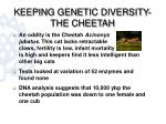 keeping genetic diversity the cheetah