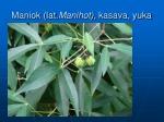 maniok lat manihot kasava yuka