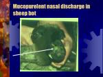 mucopurelent nasal discharge in sheep bot