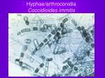 hyphae arthroconidia coccidioides immitis