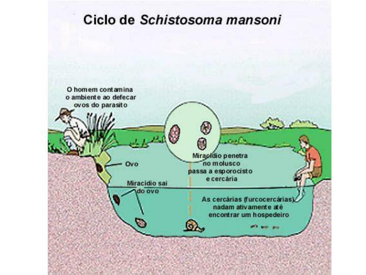 Genero schistosoma s leiperi bovinos s incognitum su nos e c es