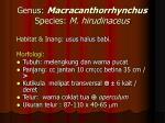 genus macracanthorrhynchus species m hirudinaceus