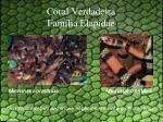 coral verdadeira fam lia elapidae