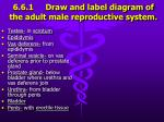 6 6 1 draw and label diagram of the adult male reproductive system