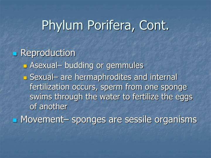 Phylum Porifera, Cont.