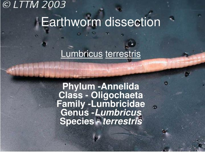earthworm dissection n.