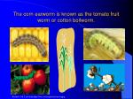 the corn earworm is known as the tomato fruit worm or cotton bollworm