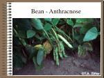 bean anthracnose