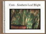 corn southern leaf blight