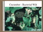 cucumber bacterial wilt