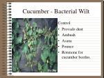 cucumber bacterial wilt1