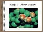 grapes downy mildew