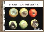 tomato blossom end rot