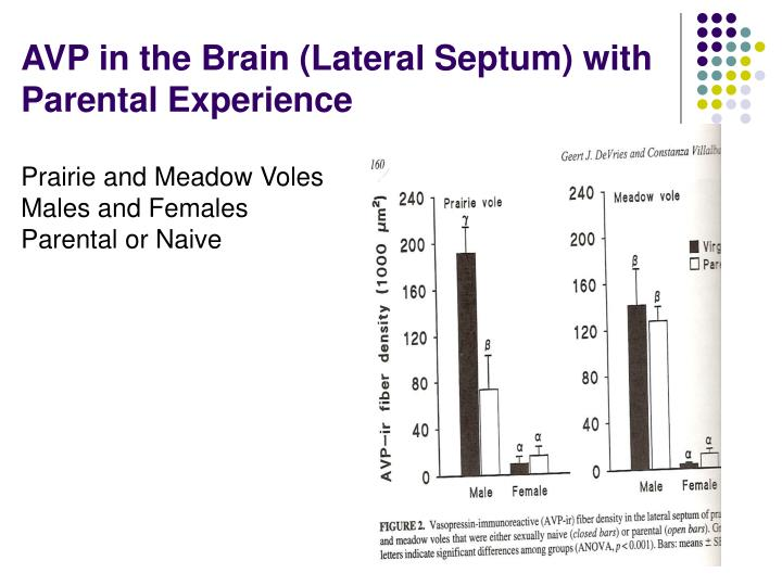 AVP in the Brain (Lateral Septum) with