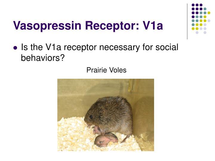 Vasopressin Receptor: V1a