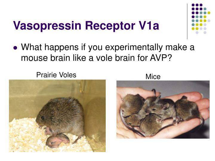 Vasopressin Receptor V1a