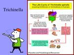 trichinella1