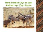 herd of beisa oryx or east african oryx oryx beisa