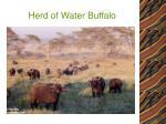 herd of water buffalo