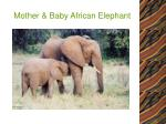 mother baby african elephant