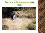 secretary bird about to take flight