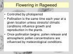 flowering in ragweed