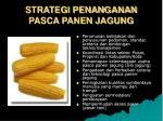 strategi penanganan pasca panen jagung
