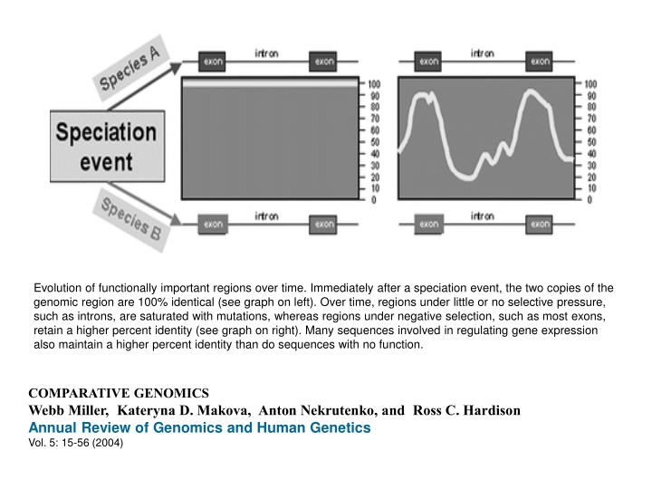 Evolution of functionally important regions over time. Immediately after a speciation event, the two copies of the genomic region are 100% identical (see graph on left). Over time, regions under little or no selective pressure, such as introns, are saturated with mutations, whereas regions under negative selection, such as most exons, retain a higher percent identity (see graph on right). Many sequences involved in regulating gene expression also maintain a higher percent identity than do sequences with no function.